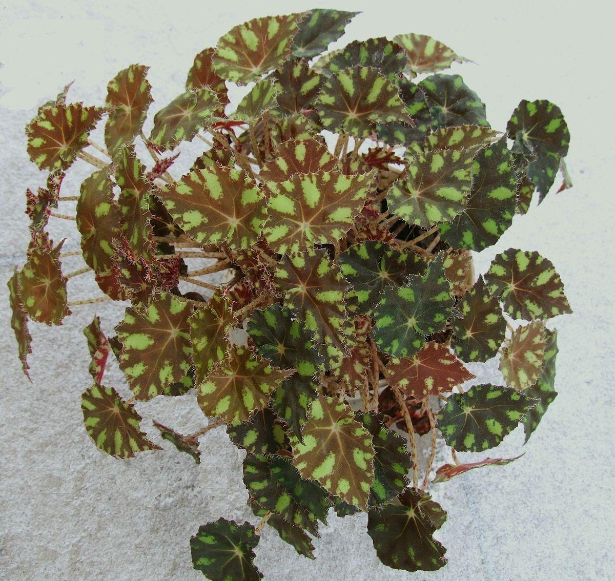 Begonia Bowerae Wikispecies