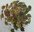 Begonia bowerae `Tiger` a1.JPG