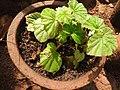 Begonia spp.-2-bsi-yercaud-salem-India.jpg