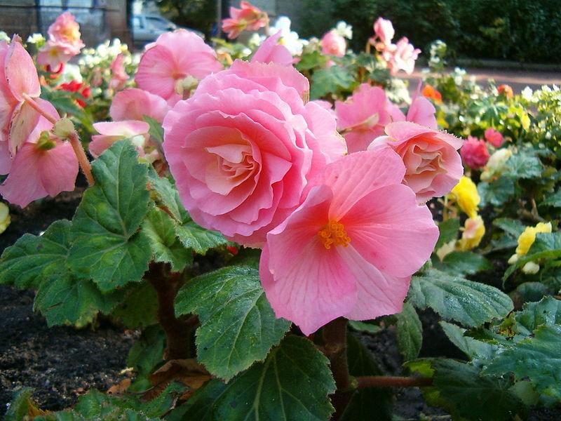 Datei:Begonia x tuberhybrida 1005Pink1.JPG