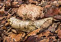Berkenzwam (Piptoporus betulinus) op afgebroken berkentak in een natuurlijk biotoop 01.jpg