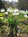 Berne botanic garden Leucojum vernum.jpg