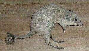 Potoroidae - Woylie (Bettongia penicillata)