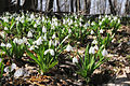 Bilosnizny preserve Galanthus plicatus.jpg