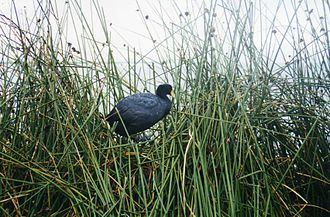 Lake Titicaca - Andean coot among totora reeds
