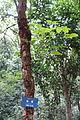Bischofia javanica - Chengdu Botanical Garden - Chengdu, China - DSC03530.JPG
