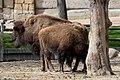 Bison bison - 05.jpg