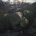 Biznaga burra (E. platyacanthus) en Tierra Blanca, Gto.jpg