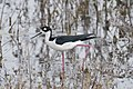 Black-Necked Stilt (16666901642).jpg