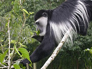 Mantled guereza - The diet of the mantled guereza is predominantly leaves, often of only a few tree species.
