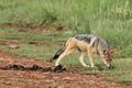Black-backed jackal, Canis mesomelas, a young one playing with a root as a puppy plays with a ball at Rietvlei Nature Reserve, Gauteng, South Africa (15851480259).jpg