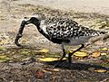 Black-bellied Plover with worm - Flickr - Andrea Westmoreland (1).jpg