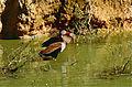 Black-bellied Whistling Ducks (Dendrocygna autumnalis) (10531787304).jpg