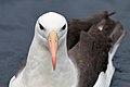Black-browed Albatross (25703245410).jpg
