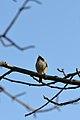 Black-capped Chickadee (Poecile atricapillus) - Guelph, Ontario 02.jpg