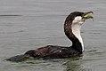 Black-faced Cormorant (25933354770).jpg