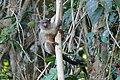 Black-tailed Marmoset (Callithrix melanura) - Flickr - berniedup.jpg