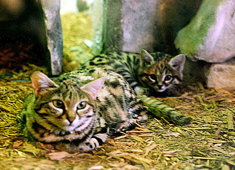 """BlackFootedCat&Kitten"" by Charles Barilleaux - Black Footed Cat and Possible Kitten?. Licensed under CC BY 2.0 via Wikimedia Commons - https://commons.wikimedia.org/wiki/File:BlackFootedCat%26Kitten.jpg#/media/File:BlackFootedCat%26Kitten.jpg"