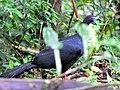 Black Guan (7047600003).jpg