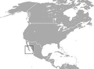 Black jackrabbit species of mammal