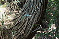 Black Locust (Robinia pseudoacacia) (22245458200).jpg