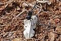 Black Percher Dragonfly (Diplacodes lefebvrii) (32382275975).jpg