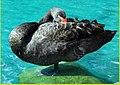 Black Swan, Palm Desert 2-22-14e (12756072604).jpg