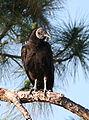 Black Vulture (1).jpg