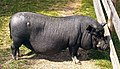 Black mini pig.jpg