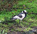 Blacksmith Plover (Vanellus armatus) 20f2008.jpg