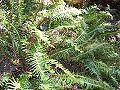 Blechnum nudum Leura.jpg