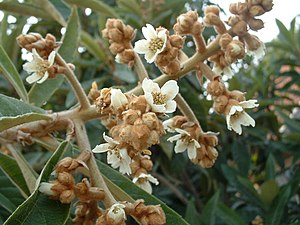Loquat - Loquat in flower. This is a cultivar intended for home-growing, where the flowers open gradually resulting in fruit also ripening gradually.