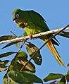 Blue-crowned Parakeet (Aratinga acuticaudata) eating fruit ... (28739605823).jpg