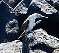 Blue-footed Booby (47801675981).jpg