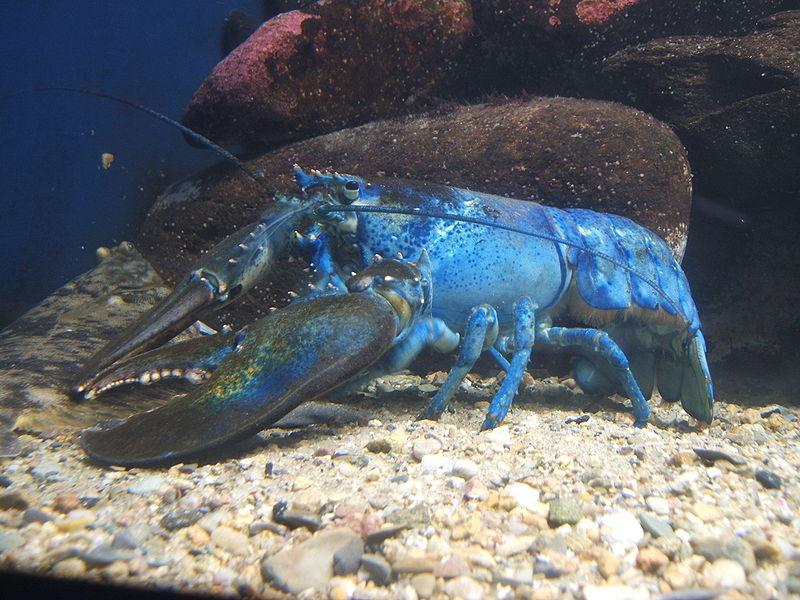 حيوانات باللون الازرق 800px-Blue-lobster.j