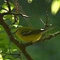 Blue-winged warbler (7093039819).jpg