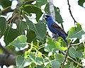 Blue Grosbeak (35577582406).jpg