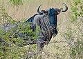 Blue Wildebeest (Connochaetes taurinus) territorial male ... (51102228362).jpg