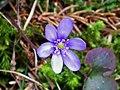 Blue petals - Flickr - Stiller Beobachter.jpg