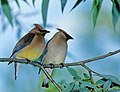 Bombycilla cedrorum -perching on branch-8.jpg