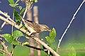 Booted Warbler (Iduna caligata) ചിന്നൻ ഭേരി. (31869607703).jpg