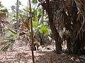Borassus aethiopum 0067.jpg
