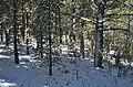 Bosc de pins per Valdelinares.JPG