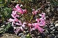 Botanischer Garten der Universität - Lampranthus brownii 2012-10-19 14-23-54.JPG