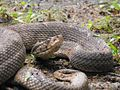Bothrops caribbaeus.jpg