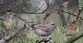 Botteri's Sparrow From The Crossley ID Guide Eastern Birds.jpg