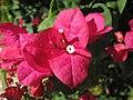 Bougainvillea glabra (paperflower) (Captiva Island, Florida, USA) 4 (24262627335).jpg