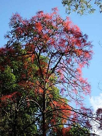 Brachychiton acerifolius - Image: Brachychiton acerifolius Royal National Park