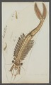 Branchipus stagnalis - - Print - Iconographia Zoologica - Special Collections University of Amsterdam - UBAINV0274 099 02 0002.tif