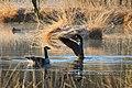 Branta hutchinsii - Cackling Goose - Zwergkanadagans NSG Nr. 209 Henstedter Moor.jpg